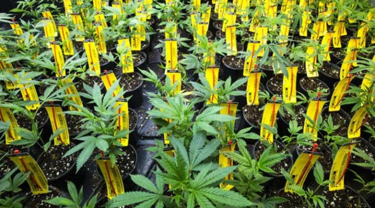 RFID Solutions for the Legal Cannabis Industry - Existo Solutions